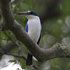 White Colloared KingFisher